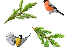 птицы и еловые ветки изолированные