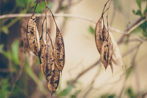 Hanging Seed Pods
