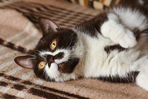 British cat chocolate color