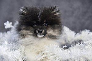 Pomeranian Spitz dog puppy in