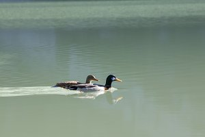 A two ducks swimming in the lake