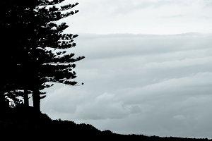 Pine on the Headland
