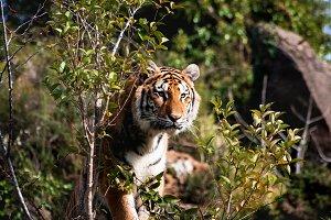 Tiger(vertical)
