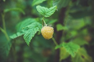 Branch with ripe raspberry