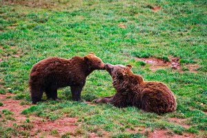 bears kissing each other