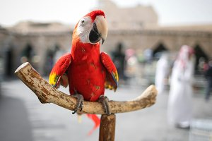 Close-up red Ara parrot sitting on