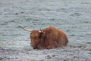 Bull lies on the snow-covered grass