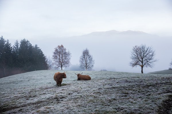 Nature Stock Photos - The bulls on the dolomites in the