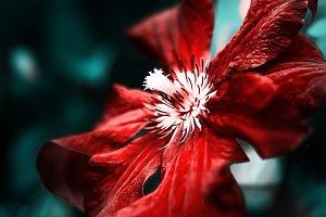 burgundy clematis flower