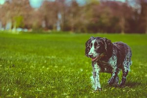 Dog running in a green park