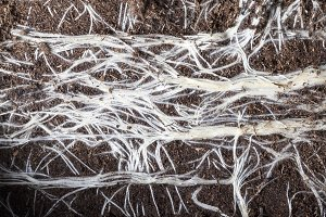 White roots of plants