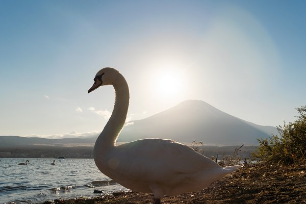 Stock Photos: Tampo - White swan with reflection of Fuji M