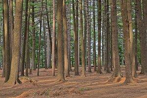 Dorwin Pine Forest