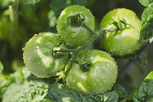 Green Tomatoes in a garden setting