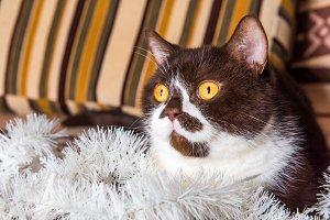 British cat chocolate color is