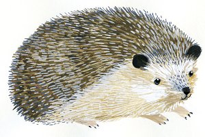 Painted Hedgehog