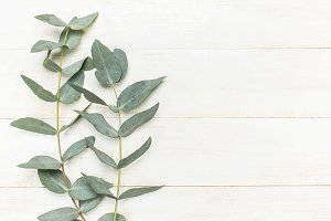 Eucalyptus twigs on white background