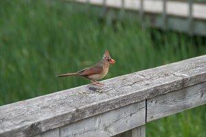 Cardinal bird.