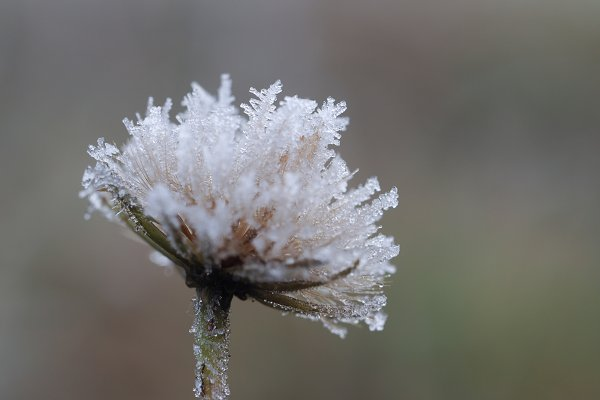 Food Stock Photos: Kozorog - Plant in frost. Macro. The sudden