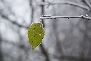 Green leaf on a snow-covered tree