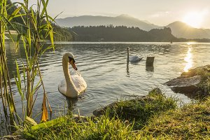 Swans in the morning on lake Bled