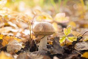 Fresh brown cap boletus mushroom
