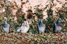 Four pigeons are sitting on a bush by  in Animals