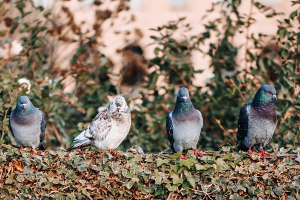 Animal Stock Photos: Edalin's Store - Four pigeons are sitting on a bush