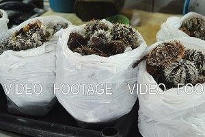Sea urchin in Asian market.