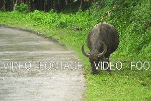 Bull eating grass.