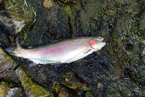 Rainbow trout landed