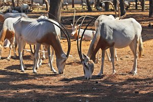 A herd of scimitar horned oryx