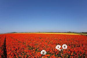 Huge field of red buttercups