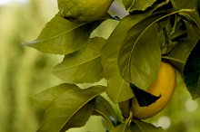 Splendid lemons on the branch