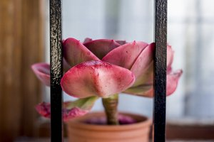 red succulent on window with fence