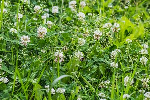A beautiful texture of white clover