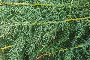 A green tamarix gracilis plant on a