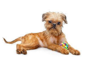 Brussels Griffon puppy with toy