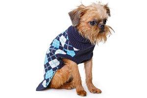 Brussels Griffon puppy in sweater