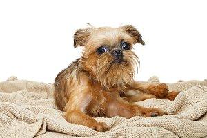 Brussels Griffon puppy lies on  blan