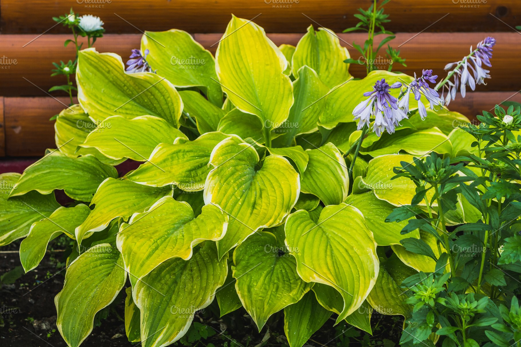 The Green And White Leaves Of Hosta Nature Photos Creative Market