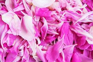 pink peony flower petal