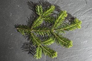 Fir branch on dark background
