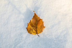 yellow leaf in the snow