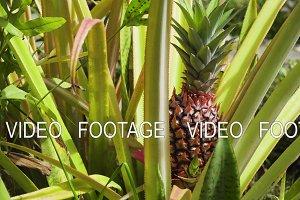 Pineapple plant field. Bali