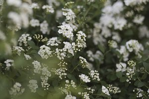 "White flowers bushes ""bride"""