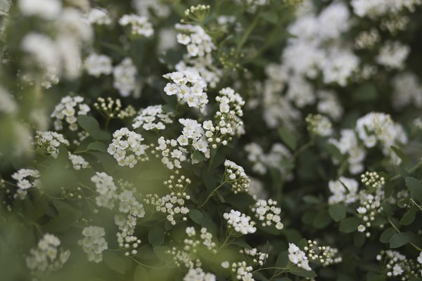 "Nature Stock Photos: E+A Store - White flowers bushes ""bride"""