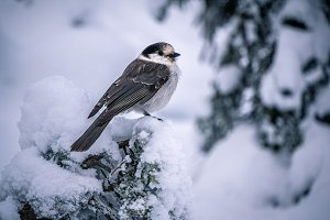 Canada Jay in the snow