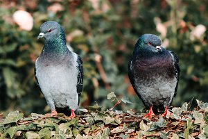 Two pigeons are sitting on a bush
