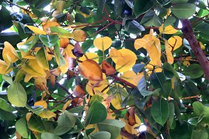 Tree foliage with wide dense leafs.